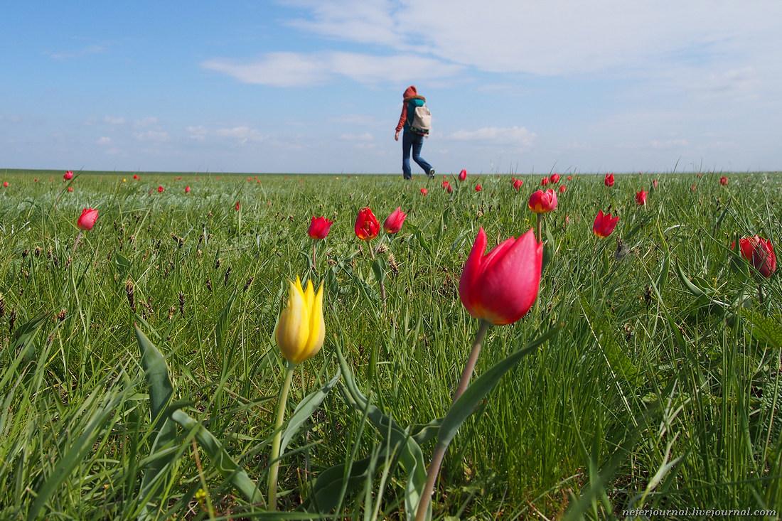 Дикие калмыцкие тюльпаны