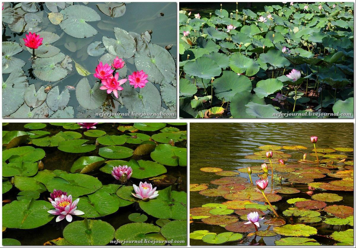 Лотос - не только красивое растение, но и съедобное Япония